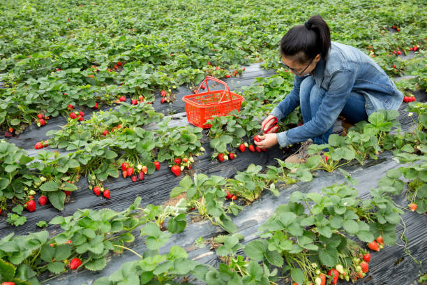 Junge Bäuerin Ernte Erdbeeren im Garten – Foto