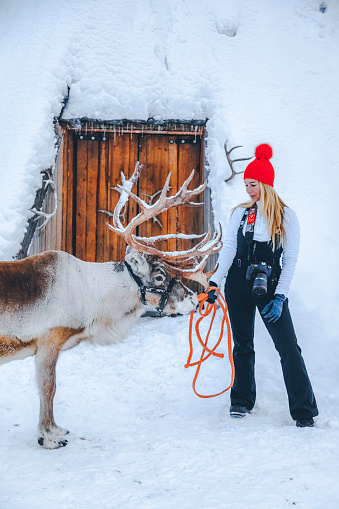 Smiling young lady feeding and stroking a cute reindeer waiting for Christmas sleigh standing on a snow field and looking at the camera against a snow covered traditional Lapland temporary shelter by the Sami People (lavvu, wigwam or kota) in snowy forest at night in Rovaniemi, Lapland, Finland, Europe
