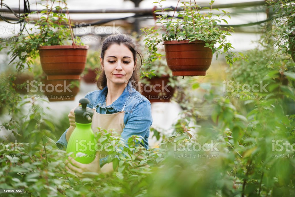 Young woman gardener in a large greenhouse with pots of seedlings. stock photo