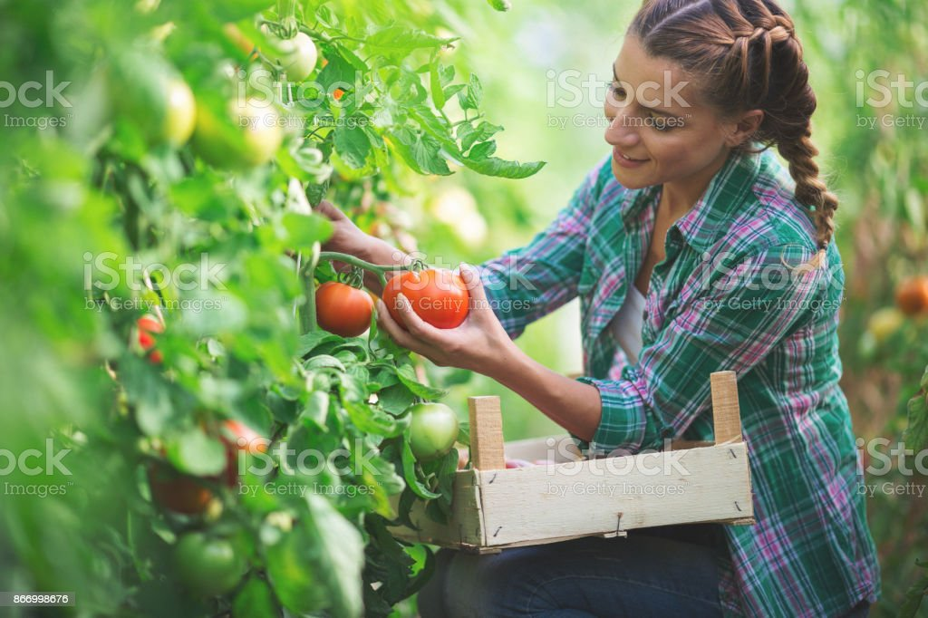 Young woman gathering tomatoes stock photo