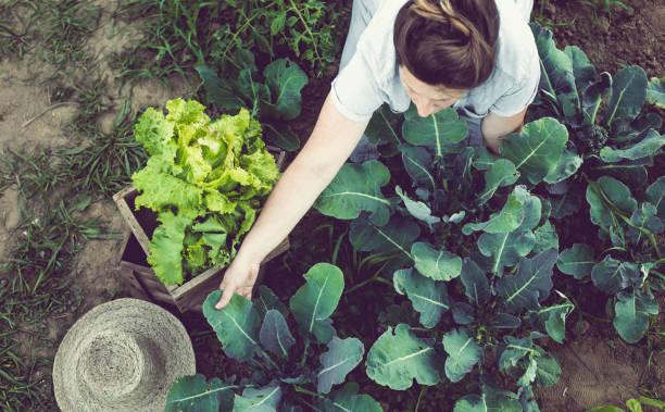 Mujer joven cosecha y almacenamiento de verduras de huerto casero - foto de stock