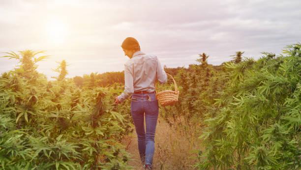 Junge Frau erntet Cannabisknospen – Foto