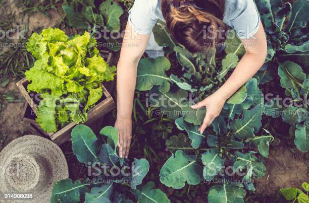 Young woman harvesting home grown lettuce picture id914906098?b=1&k=6&m=914906098&s=612x612&h=xthoxmjixerwqmoj5nbcf3ngkujbtkspf5ohy7mie i=