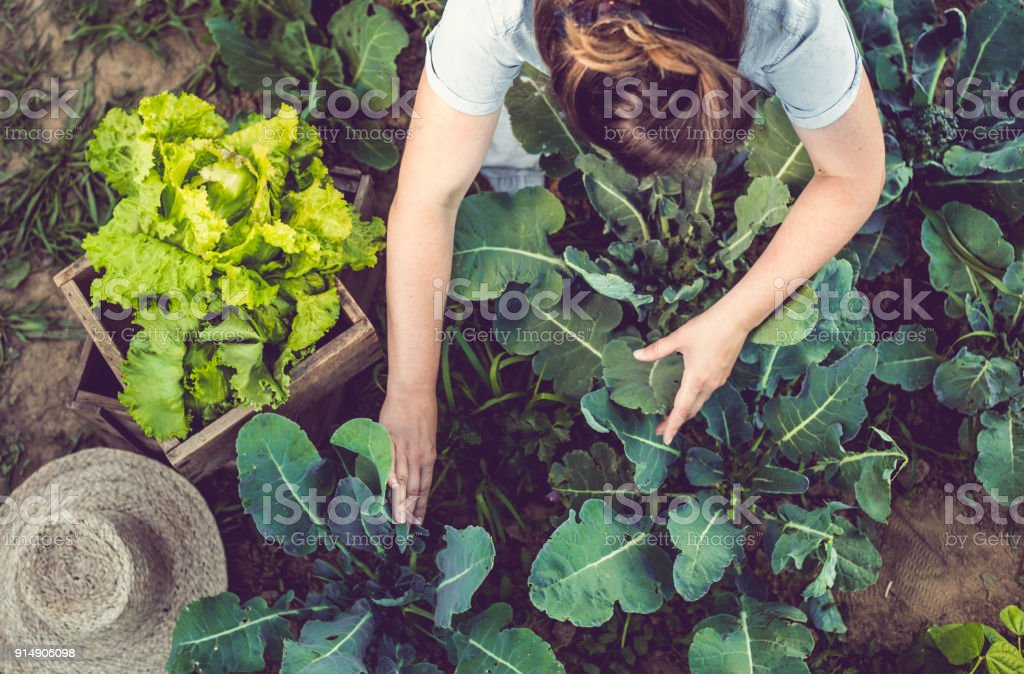 Young Woman Harvesting Home Grown Lettuce stock photo