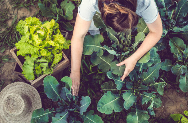 young woman harvesting home grown lettuce - organic stock pictures, royalty-free photos & images