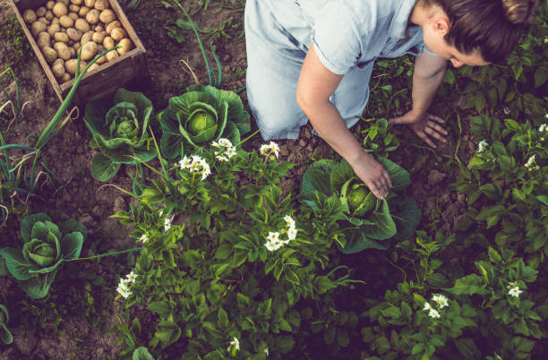 Young Woman Harvesting Home Grown Lettuce Young Woman Harvesting Home Grown Lettuce cultivated land stock pictures, royalty-free photos & images