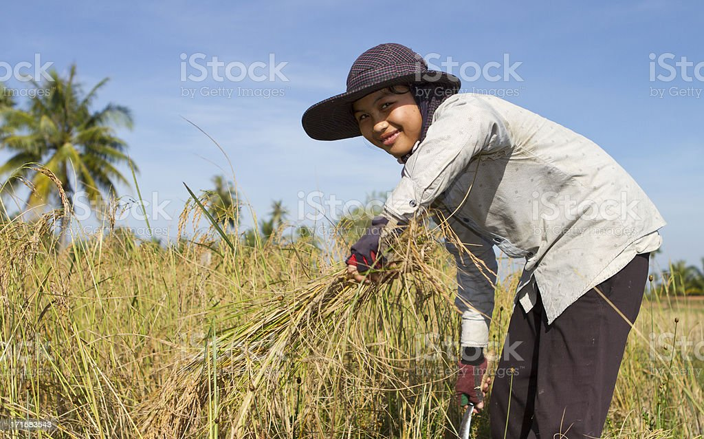 Young woman harvesting the rice paddy royalty-free stock photo