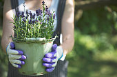 Young woman with garden gloves holding lavender in pot.