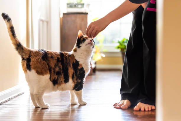 young woman holding meat, treat with hand teaching, training standing calico cat sniffing tricks, begging, picking, asking food in living room, with window bright light, legs - потакание своим желаниям стоковые фото и изображения