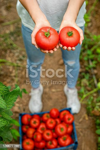 Young woman holding tomato harvest in a greenhouse