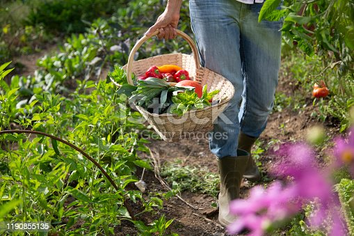 Low section of young woman with vegetable basket standing in farm.