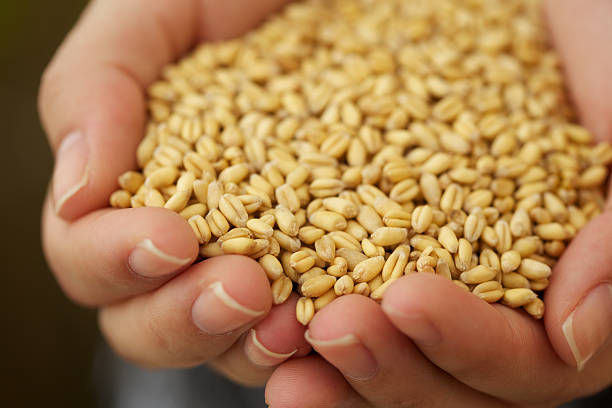 Young woman holding wheat kernels stock photo