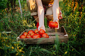 A young woman is picking a tomato