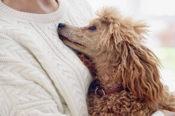 Young woman is resting with a dog at home . Young woman is resting with a dog at home . poodle stock pictures, royalty-free photos & images