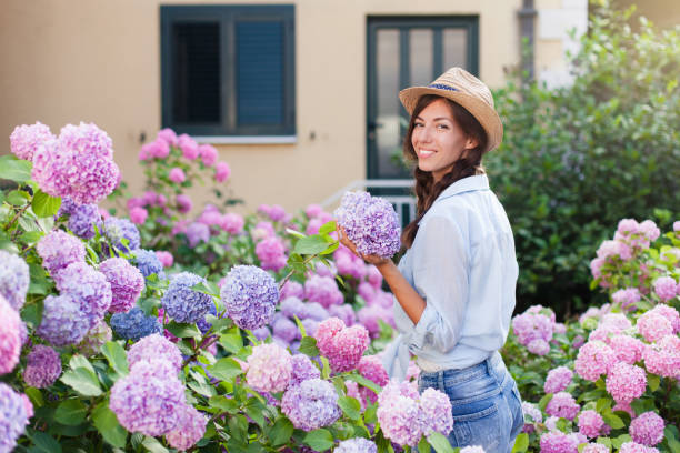 Young woman is smiling in hydrangea garden. Bushes of flowers are purple, pink, lilac and blooming in back yard by house. Girl with bouquet is gardener and farmer. Countryside gardening. stock photo