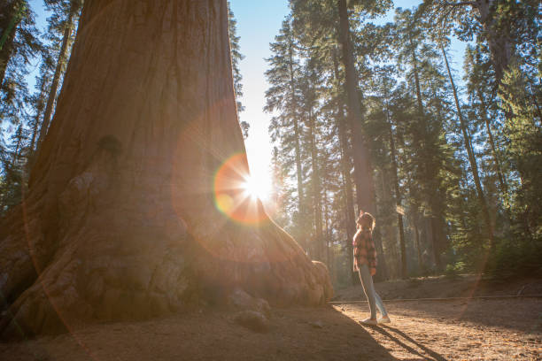 Young woman looking up giant Sequoia trees in forest stock photo