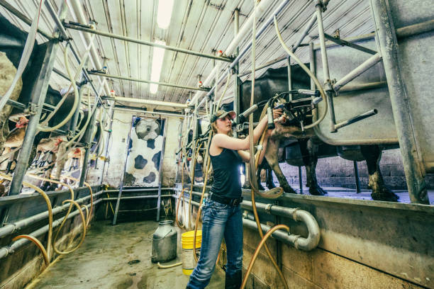 Young woman on the job while operating the milking equipment of a dairy farm. Travel and real people photography. female animal stock pictures, royalty-free photos & images