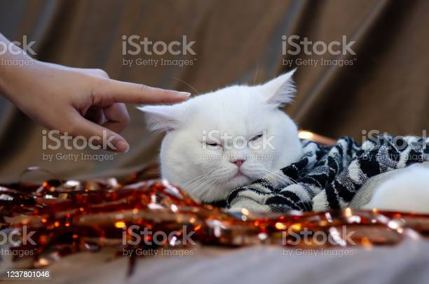 Young woman owner hand petting white persian cat head while it rest picture id1237801046?b=1&k=6&m=1237801046&s=612x612&h=jrosyw7ffayyg2dknk9c5ss5ai3hu t5n7c brsqpjw=