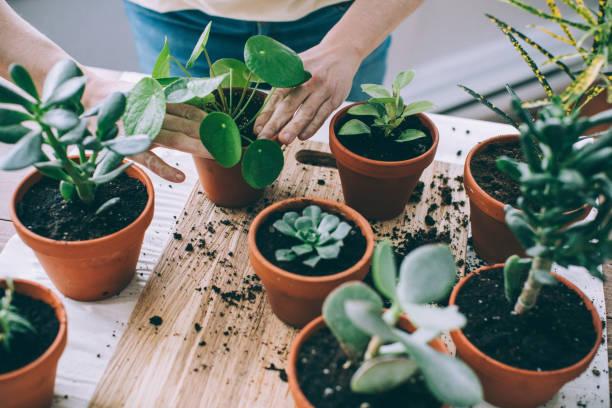 jonge vrouw, hartstochtelijke kamerplanten care giver, repotting plants - kamerplant stockfoto's en -beelden