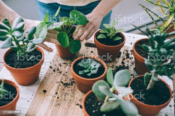 Photo of Young Woman, Passionate Houseplants Care Giver, Repotting Plants