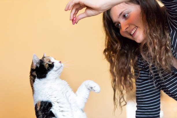 Young woman, pet owner teaching, training calico cat trick of standing up on hind legs, picking, food in room, doing trick with front paw, claws with hand holding treat, meat Young woman, pet owner teaching, training calico cat trick of standing up on hind legs, picking, food in room, doing trick with front paw, claws with hand holding treat, meat animal tricks stock pictures, royalty-free photos & images