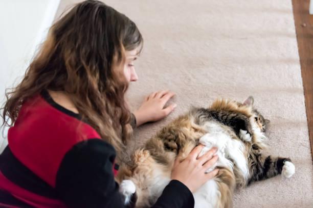 Young woman petting fat overweight lazy maine coon cat lying on back picture id994798310?b=1&k=6&m=994798310&s=612x612&w=0&h=fbnr10uerql9bgjeip9g2jt68hctbwxdbxa9gxc81 u=