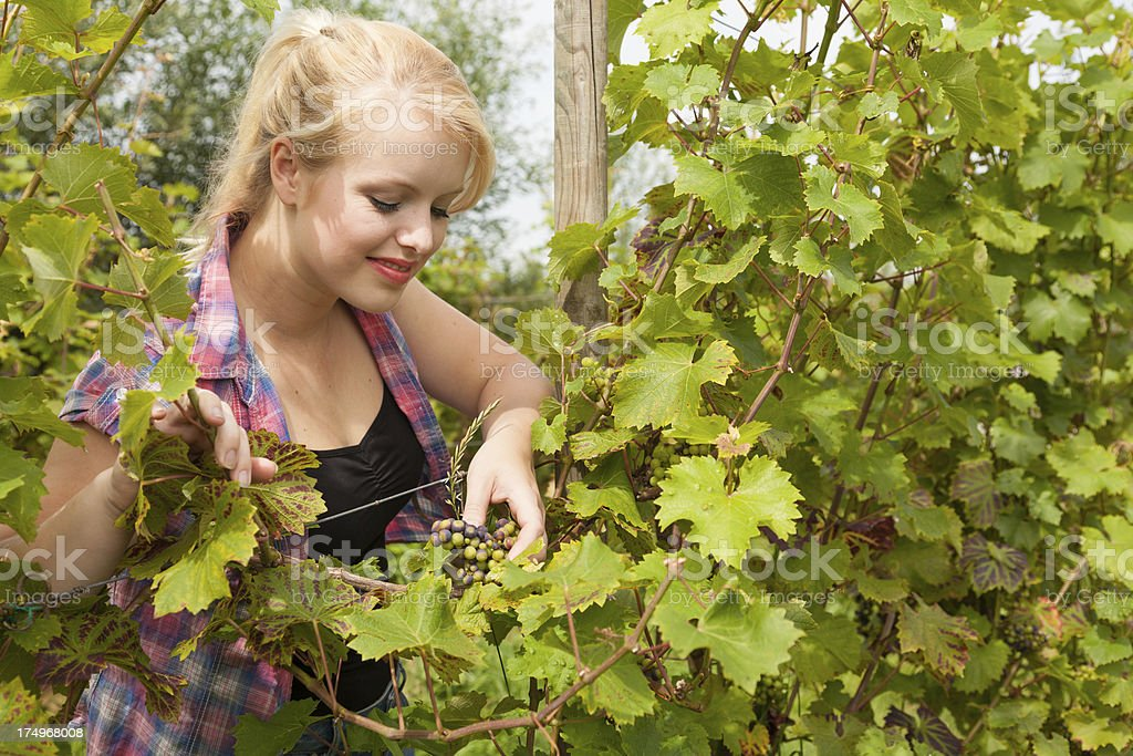 Young woman picking  grapes on an organic farm royalty-free stock photo