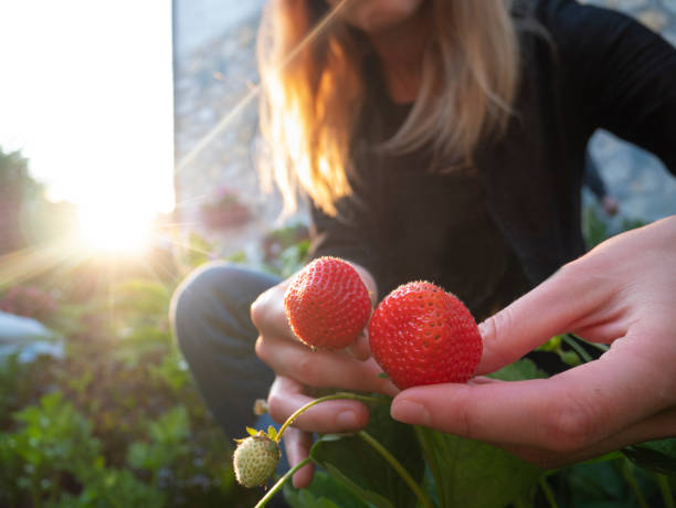 Young woman picking strawberries In the garden.Woman hands hold the fruits of the strawberry plant. Harvesting berry concept. Pick your own stock photo