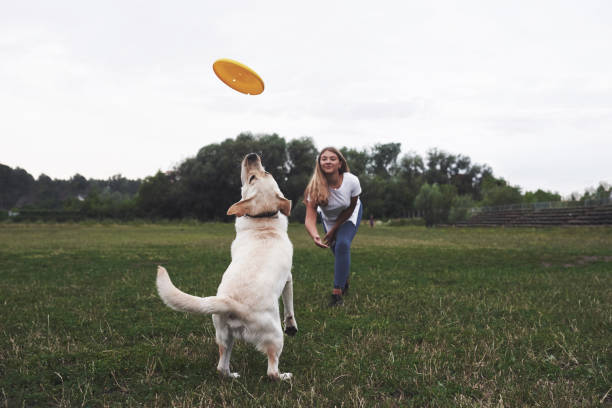 Young woman playing with her labrador in a park. She is throws the yellow frisbee disc. Dog tries to catch it Young woman playing with her labrador in a park. She is throws the yellow frisbee disc. Dog tries to catch it. plastic disc stock pictures, royalty-free photos & images
