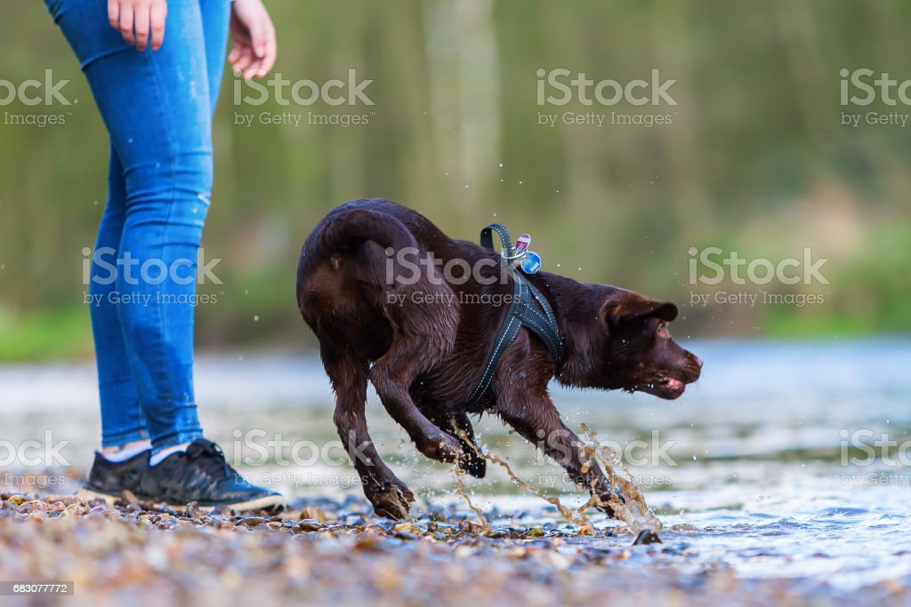 young woman plays with a Labrador puppy foto de stock royalty-free