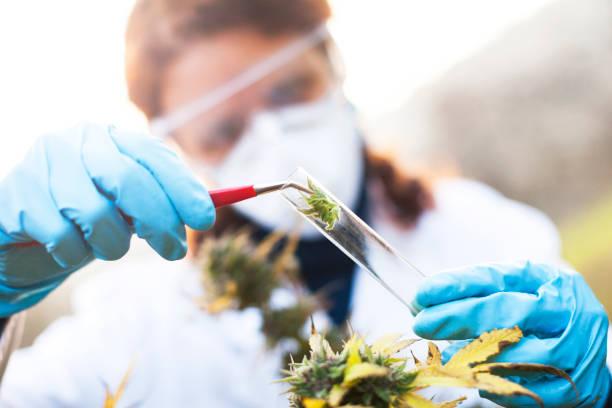 young woman preparing homeopathic medicine from marijuana - campione scientifico foto e immagini stock