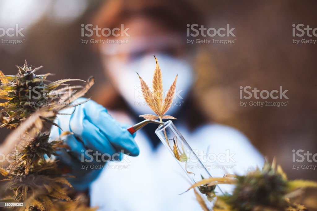 Young Woman Preparing Homeopathic Medicine from Marijuana stock photo
