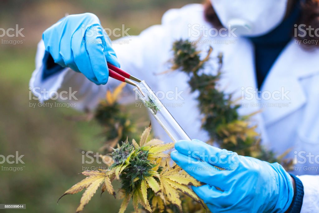Young Woman Preparing Homeopathic Medicine from Marijuana stock photo