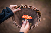 Amanita muscaria in hand and basket.