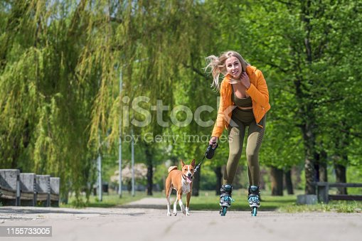 Basenji dog is pulling a young  female young pretty female on roller skates