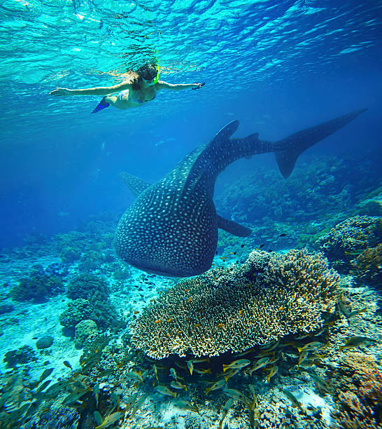 young woman snorkeling with whale shark. - cebu stockfoto's en -beelden