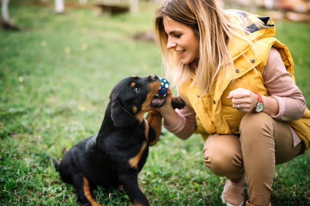 Young woman training and playing with puppy on grass, in park. Rottweiler dog puppy details stock photo