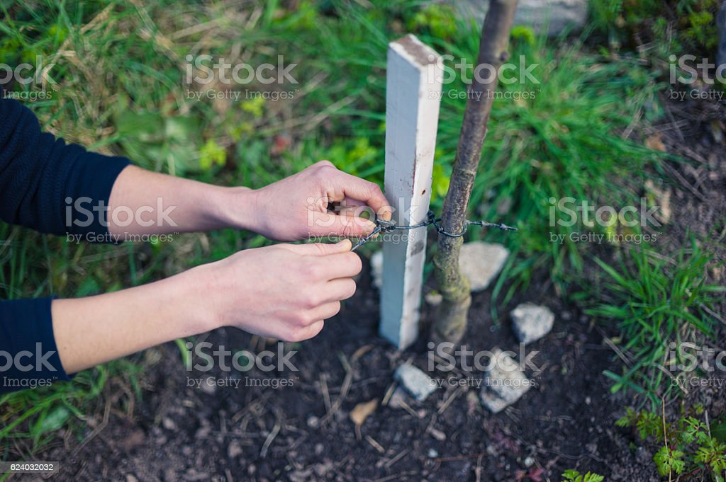 Young woman tying tree to stake stock photo