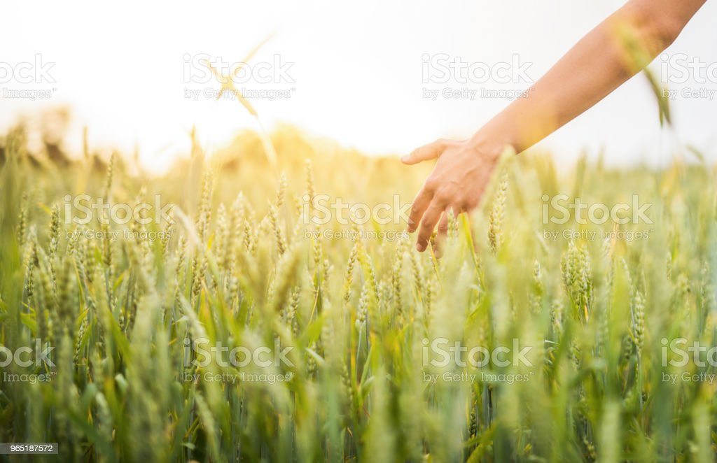 Young woman walking in green barley on sunset. zbiór zdjęć royalty-free