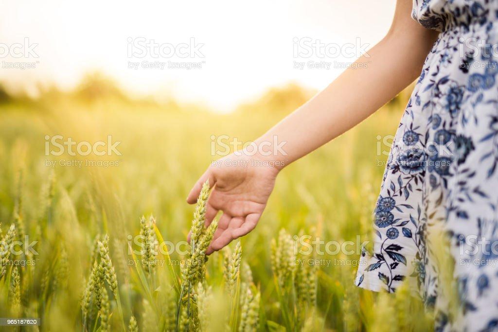 Young woman walking in green barley on sunset. zbiór zdjęć royalty-free