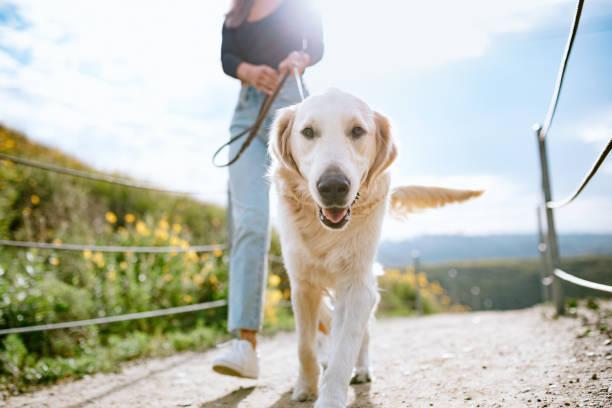 캘리포니아 공원에서 개를 산책하는 젊은 여성 - 개과 뉴스 사진 이미지