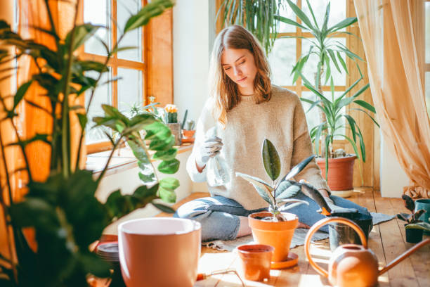 Young woman watering her rubber plant stock photo