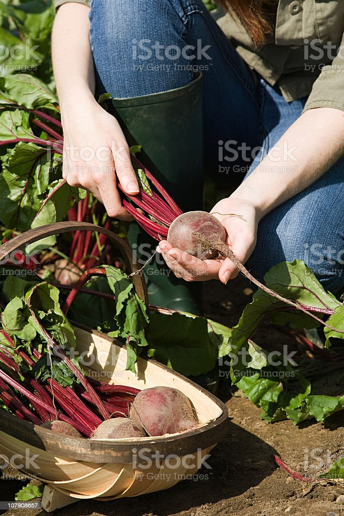 Young woman with fresh beetroot in basket royalty-free stock photo