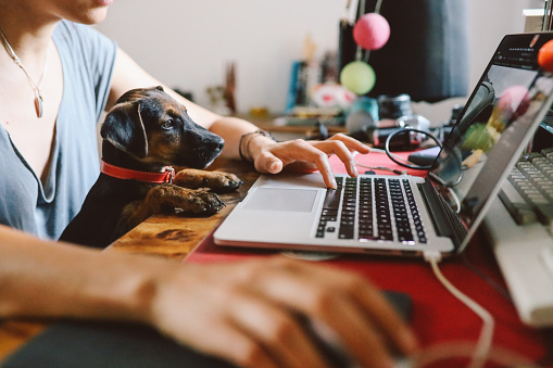 Young woman sitting at the desk at her home, working on the laptop while her puppy pet sits on her lap. Freelancer work from home concepts in casual atmosphere.
