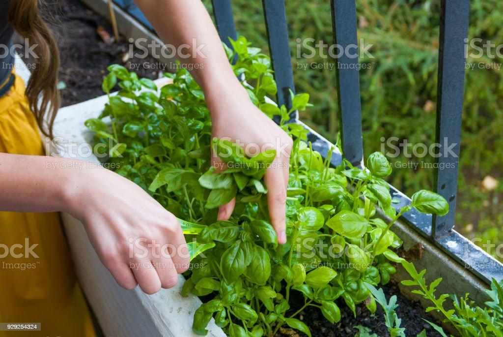 Las mujeres jóvenes corta hierbas frescas para una cena - foto de stock
