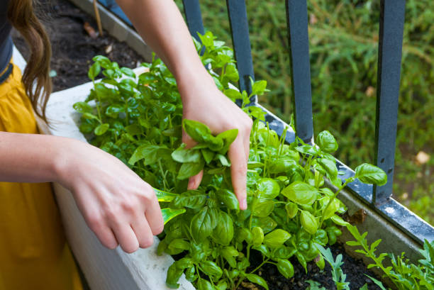 young women cuts fresh herbs for a dinner - basil stock photos and pictures