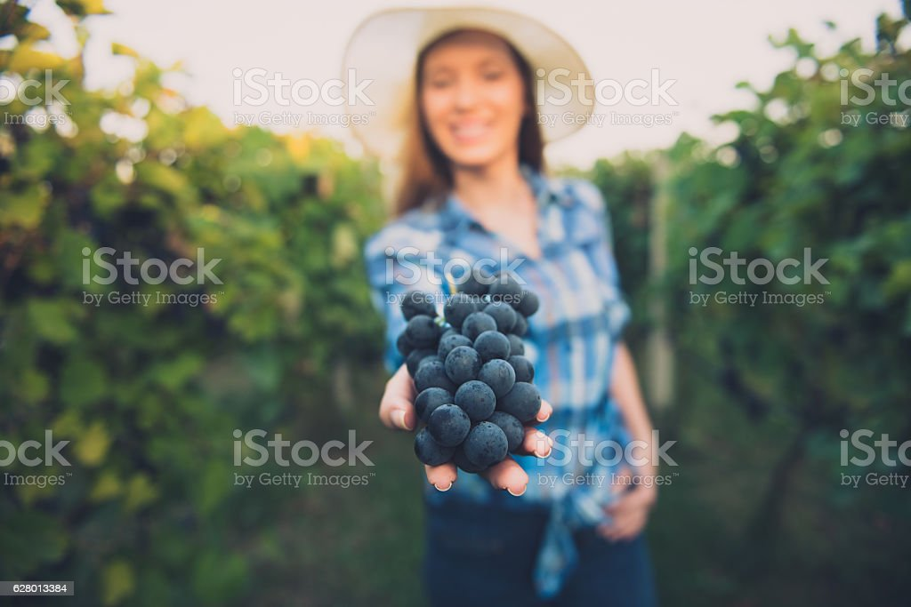 Young women harvesting grapes on a beautiful autumn day – Foto