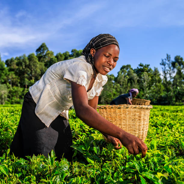 Young women plucking tea leaves on plantation, Kenya, East Africa stock photo