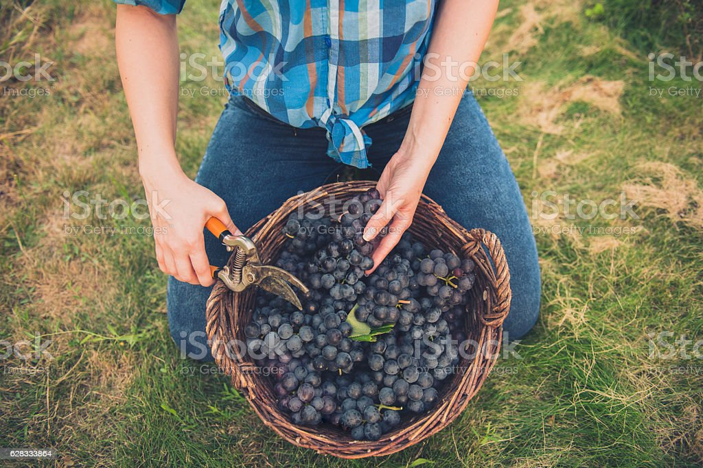 Young women with basket full of grapes in vineyard – Foto