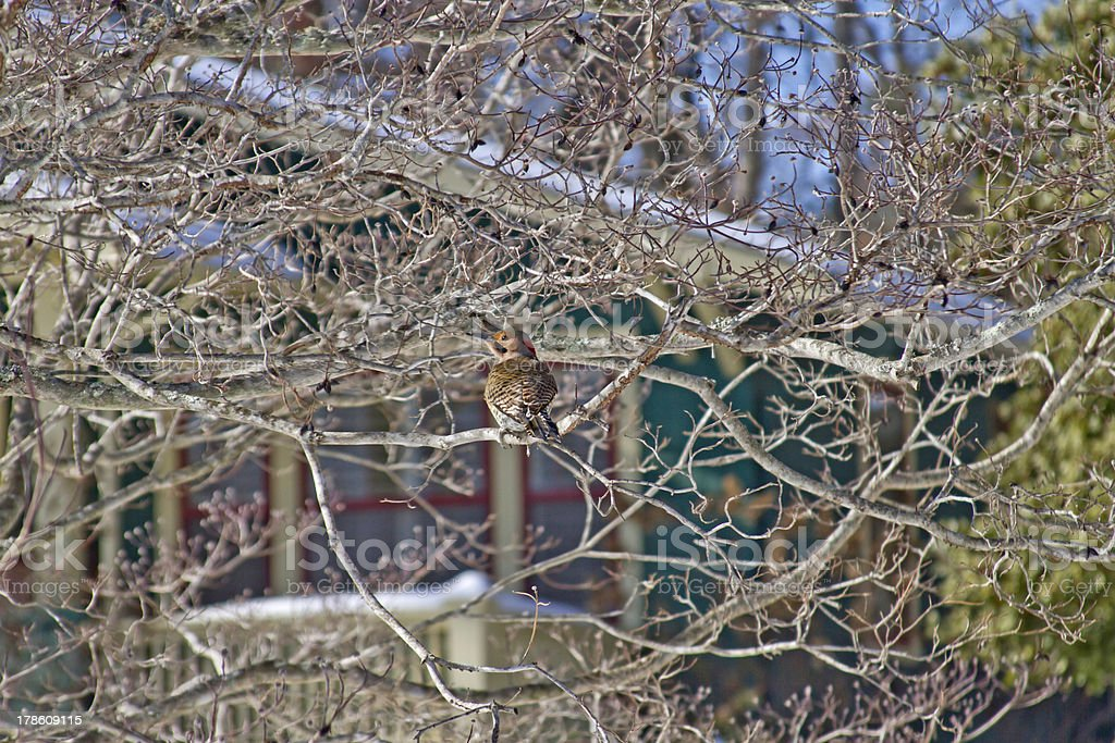 Young Woodpecker in Early Spring royalty-free stock photo